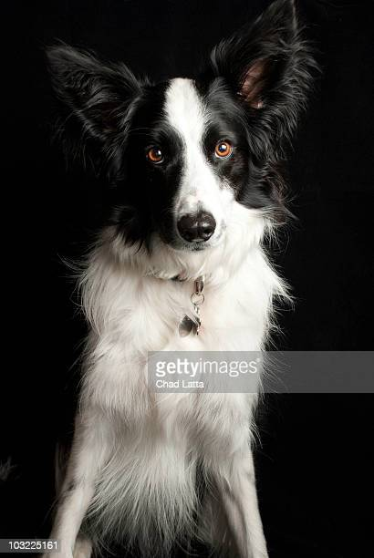 Border Collie with black background