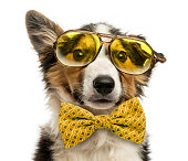 Close-up of a Border collie with old fashioned glasses and a bow tie, isolated on white