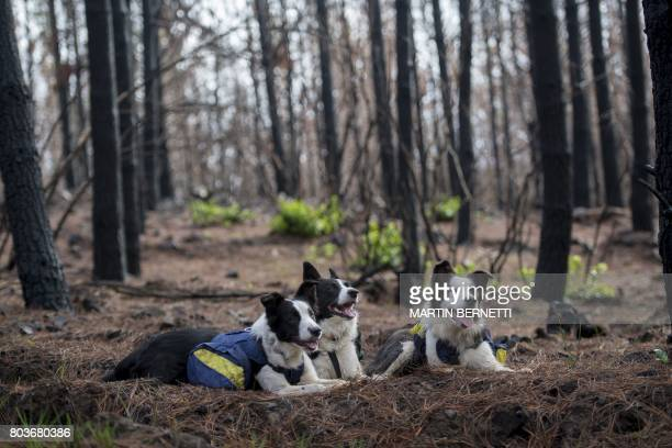 Border collies Olivia Das and Summer pose with their special backpacks full of seeds amid a forest devastated by fire in Talca about 350 kilometres...
