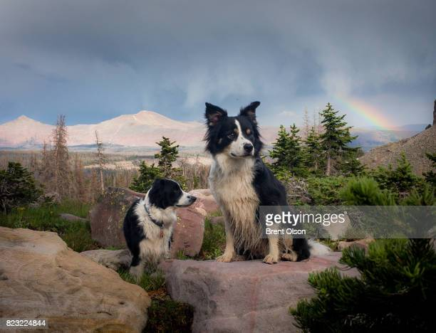 Border Collies on a rock with a rainbow