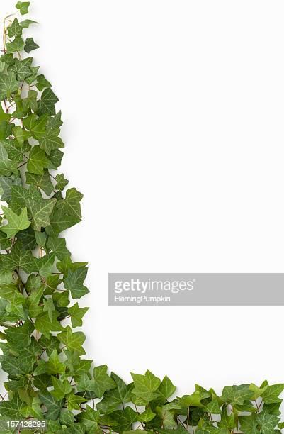 Border-English Ivy auf weißem Hintergrund