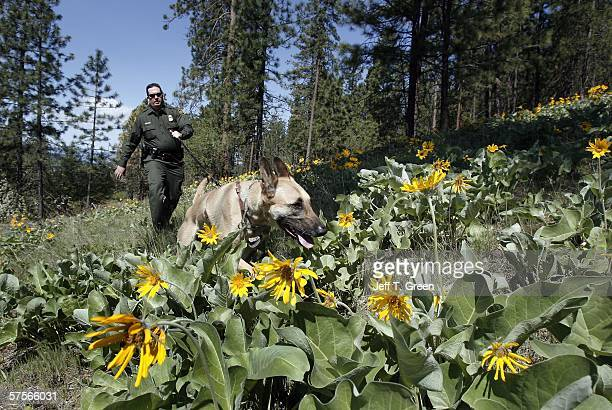 S Border Patrol Agent Brent Smith works his Belgian Malinois dog Beau during a training session May 9 2006 in the mountains north of Colville...