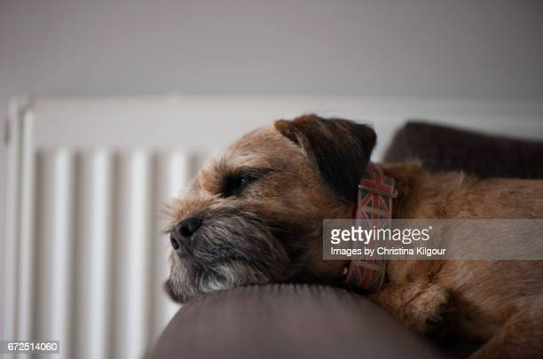 Border Terrier asleep on the arm of a chair
