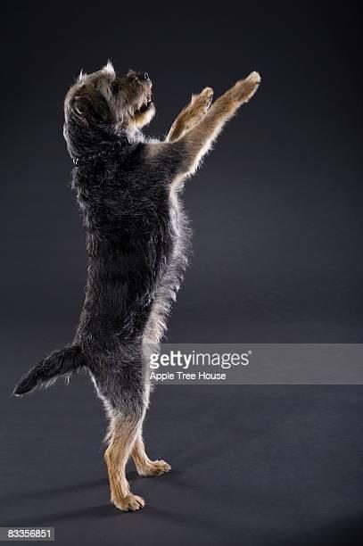 Border Terrier begging on hind legs