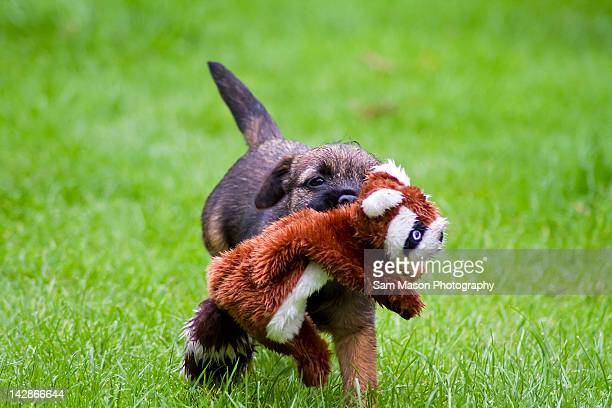 Border terrier dog holding toy in mouth