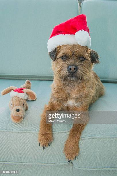 Border Terrier dog with Christmas hat and toy