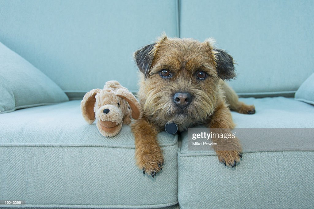 Border Terrier dog with toy, Norfolk : Stock Photo