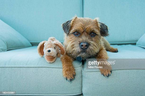 Border Terrier dog with toy, Norfolk