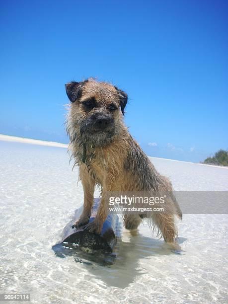 Border Terrier in Tropical Sea