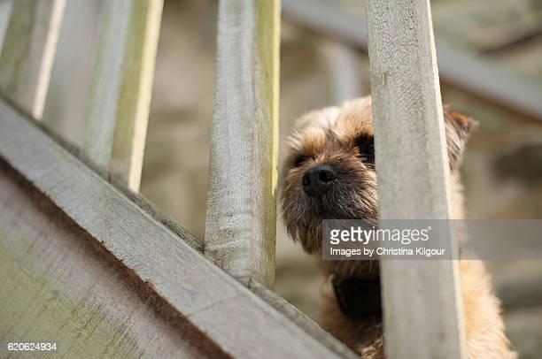 Border Terrier peeping through a fence