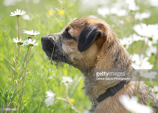 Border Terrier Puppy Smells Daisies in the Field