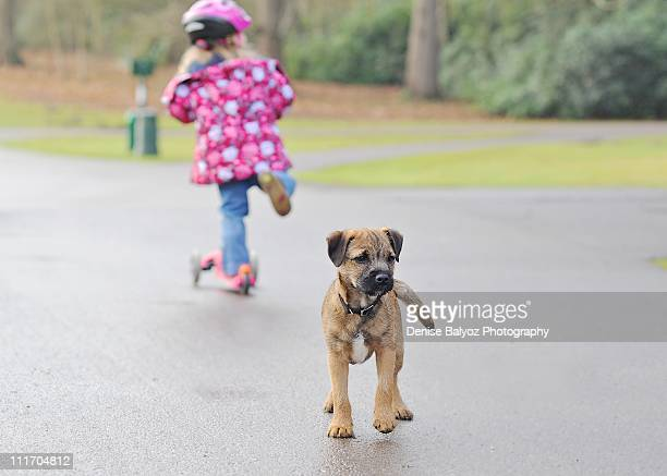 Border Terrier Puppy with Foot Off the Ground