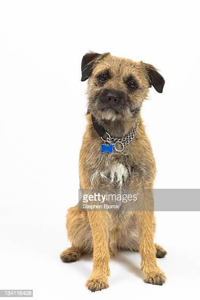Border terrier sitting on white background