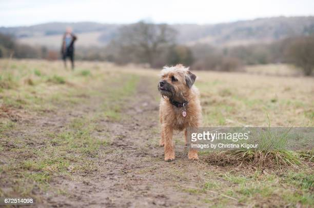 Border Terrier standing in a muddy field
