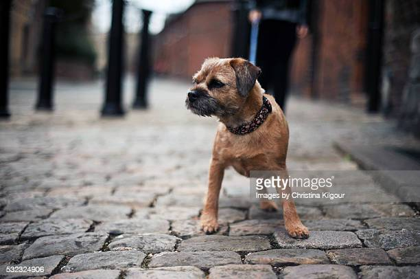 Border Terrier walking about town on a lead