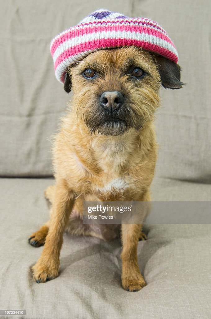 Border Terrier wearing hat Norfolk U.k. : Stock Photo
