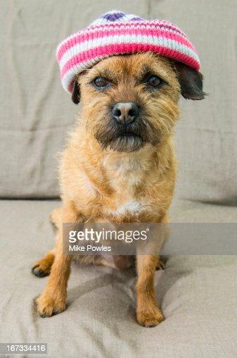 Border Terrier wearing hat Norfolk U.k. : Stock Photo