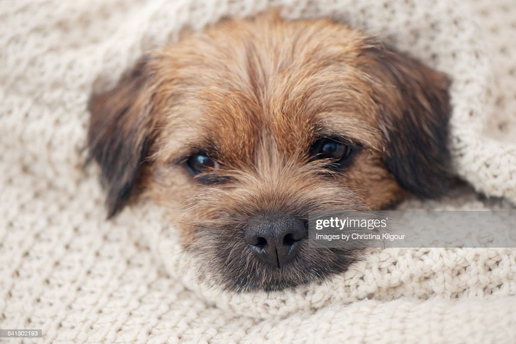 Knitting Pattern For Border Terrier : Border Terrier Wrapped In A Knitted Blanket Stock Photo Getty Images