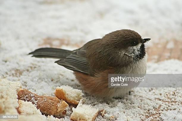 Boreal Chickadee eating bread crumbs