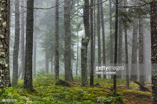 Boreal forest on a foggy morning in maine, USA