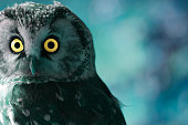 Boreal Owl in the darkness