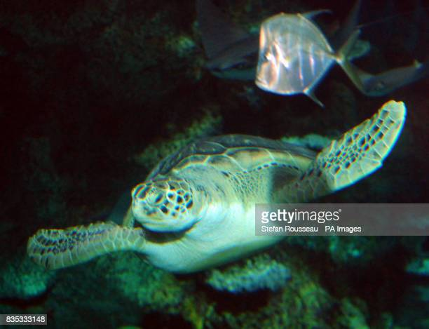 Boris a Green Turtle that has been named after London Mayor Boris Johnson at the new Sea Life Aquarium in London Mayor Boris Johnson met the latest...