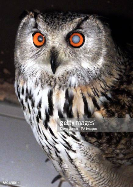 Boris the Siberian Eagle owl one of only two in UK captivity before the operation to cure his cataracts at the Eye Veterinary clinic in the hamlet of...
