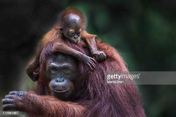 Bornean Orangutan baby riding on mother's neck