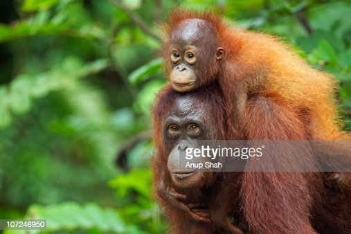 Bornean Orangutan femalecarrying her son : Stock Photo