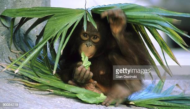 bornean orangutan pongo pygamaeus pygmaeus baby eating lowry park zoo, florida
