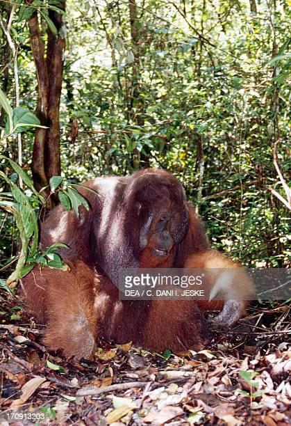 Bornean Orangutan with baby Tanjung Puting National Park Kalimantan Central Island of Borneo Indonesia