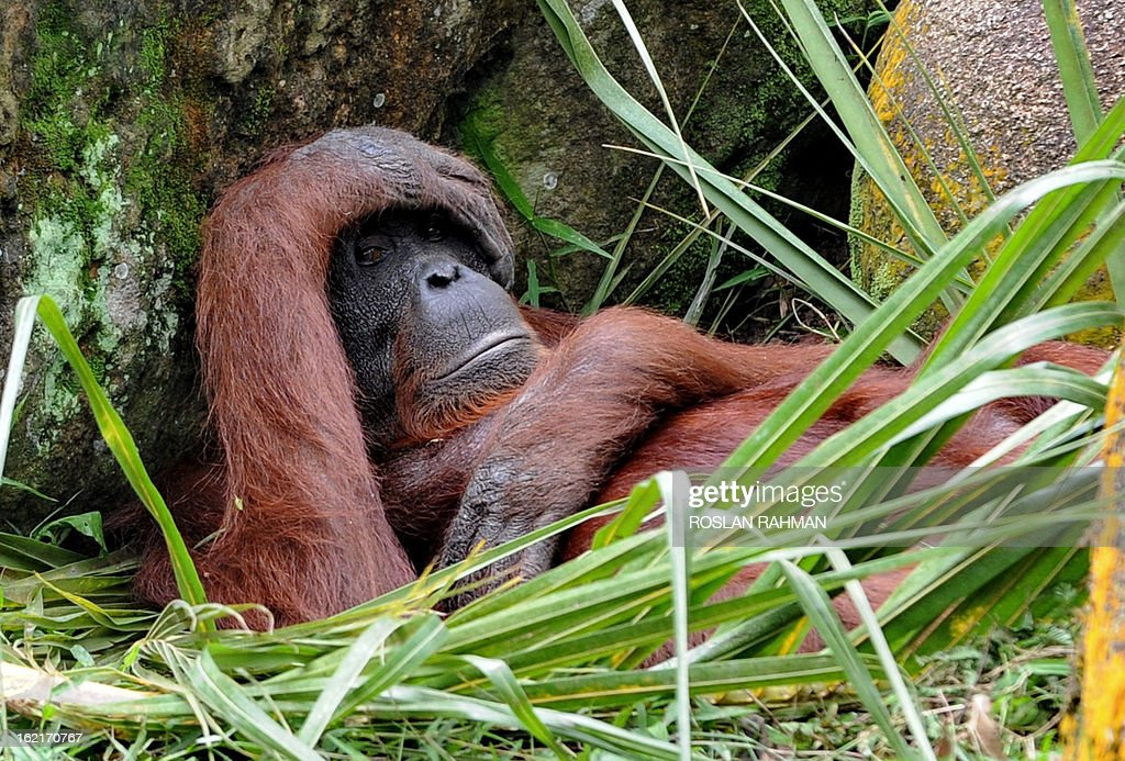A Borneo orangutan relaxes among the rocks in its enclosure at the Mandai Zoological Garden in Singapore on February 20, 2013. Singapore Zoo have bred a total of 37 orangutans to date and some have been sent to zoos in Malaysia, Sri Lanka, India, Vietnam, Japan, Australia and New Zealand as part of a worldwide exchange programme to facilitate the breeding of these highly endangered apes. AFP PHOTO / ROSLAN RAHMAN