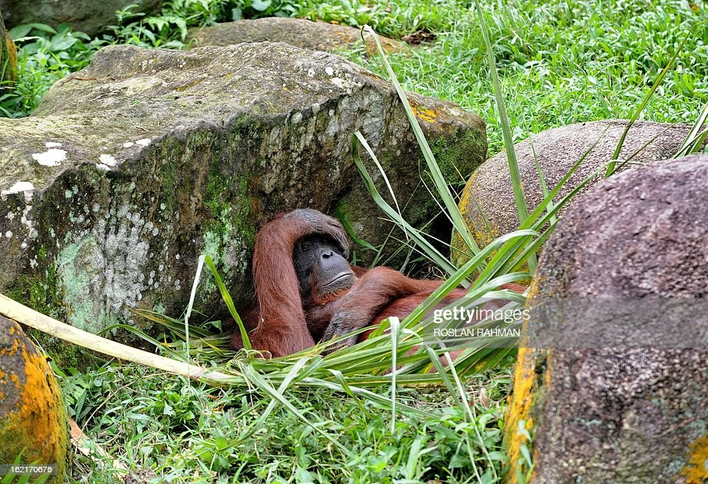 A Borneo orangutan relaxs among the rocks in its enclosure at the Mandai Zoological Garden in Singapore on February 20, 2013. Singapore Zoo have bred a total of 37 orangutans to date and some have been sent to zoos in Malaysia, Sri Lanka, India, Vietnam, Japan, Australia and New Zealand as part of a worldwide exchange programme to facilitate the breeding of these highly endangered apes.