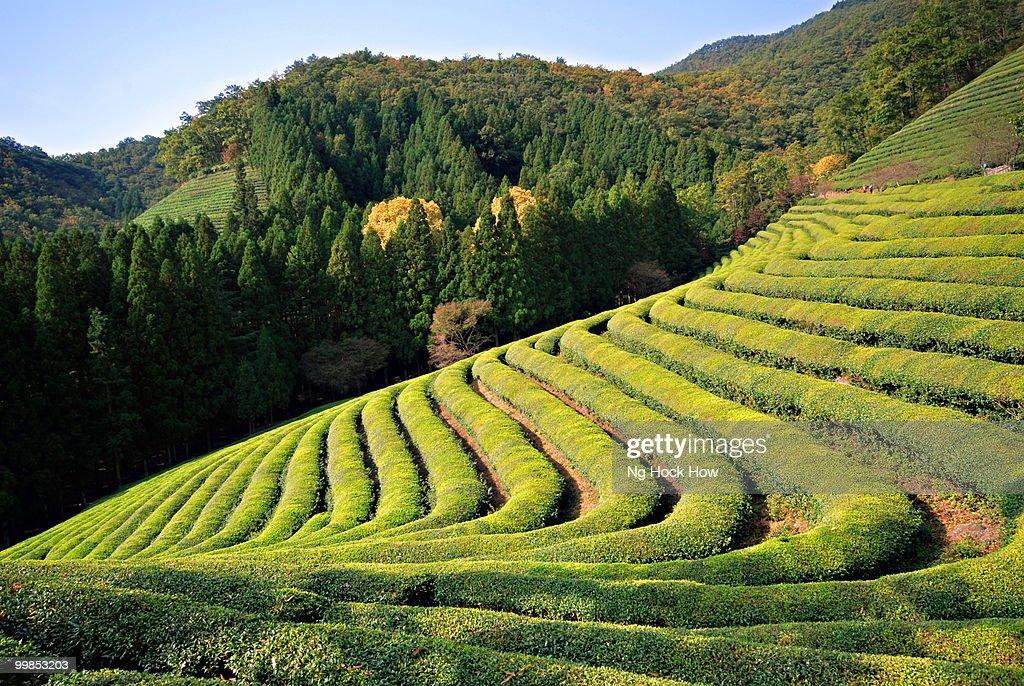 Boseong Tea Garden, Korea