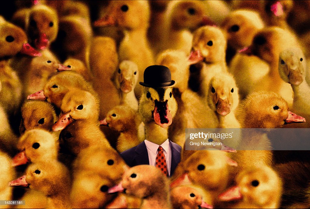 Boss Duck : Stock Photo