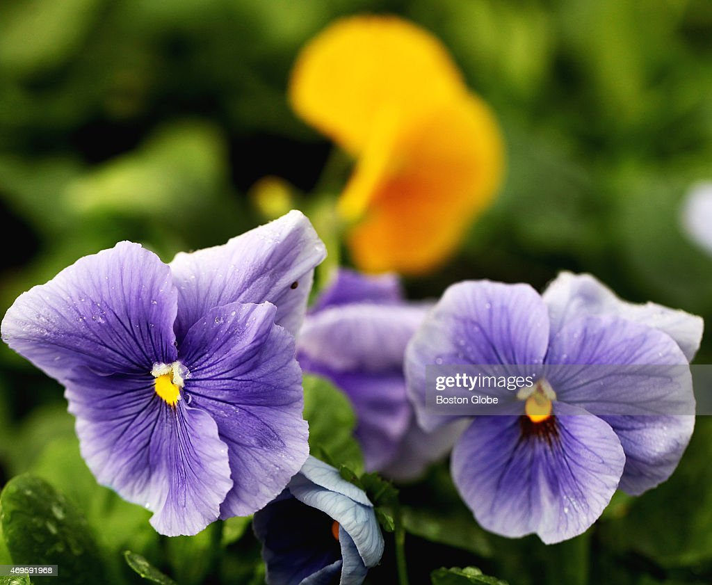 'Boston Strong' blue and yellow pansies inside the City's greenhouse in Boston's Franklin Park Tuesday April 7 2015