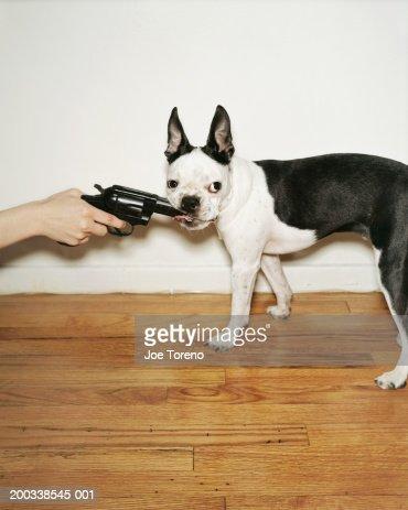 Boston Terrier chewing on gun : Stock Photo