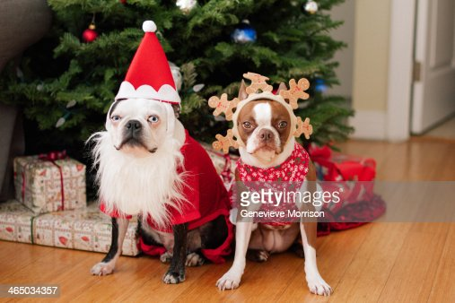 Boston terrier Christmas