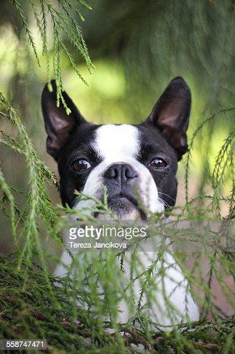 Boston Terrier dog between green twigs