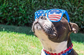 Puppy wearing USA themed glasses and necklace accesories