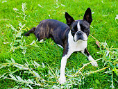 Boston terrier dog lying on a green lawn in summer