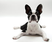Boston Terrier Dog laying on white background.