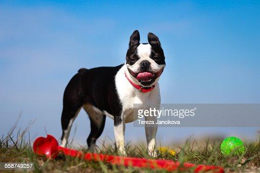 Boston Terrier dog panting