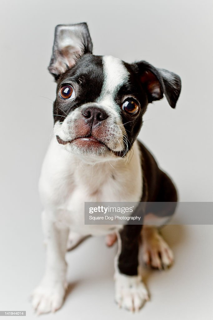 Boston terrier norge