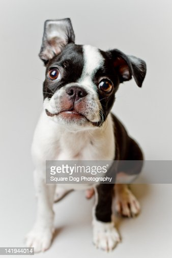 Boston Terrier dog puppy : ストックフォト