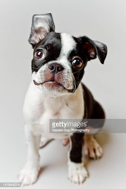 Boston Terrier dog puppy