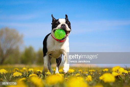 Boston Terrier dog running over dandelion field
