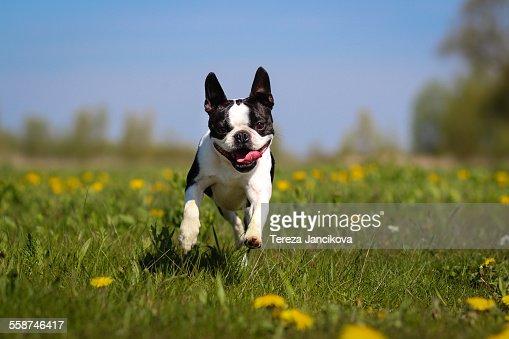Boston Terrier dog running over dandelion meadow