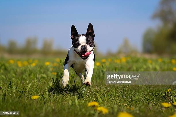 Boston Terrier dog running over dandelion meadow