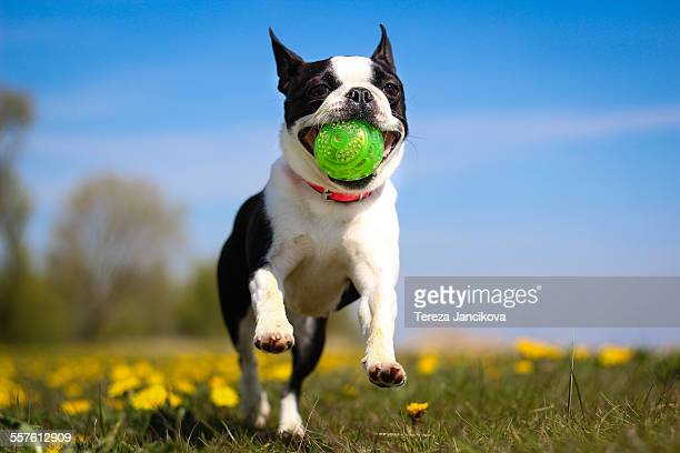 Boston Terrier dog running with ball